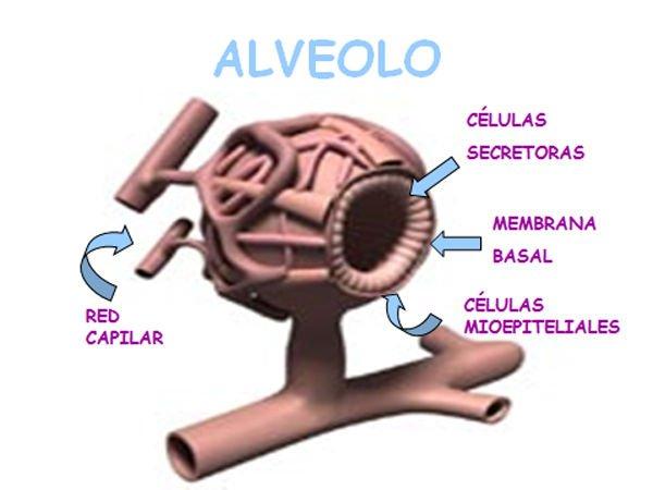 alveolos-mamarios