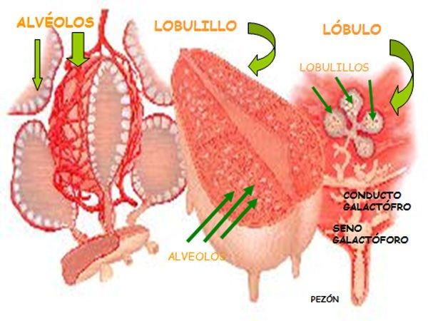 anatomia-mama-lactancia