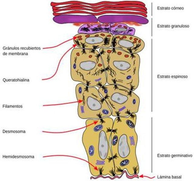 corneodesmosoma-estrato-corneo
