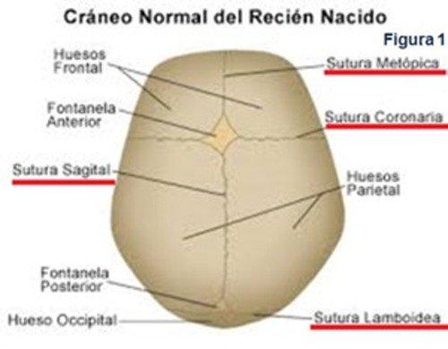 craneo-normal-recien-nacido
