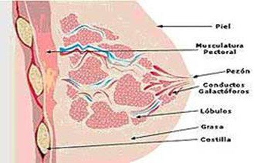 2-anatomia-mama