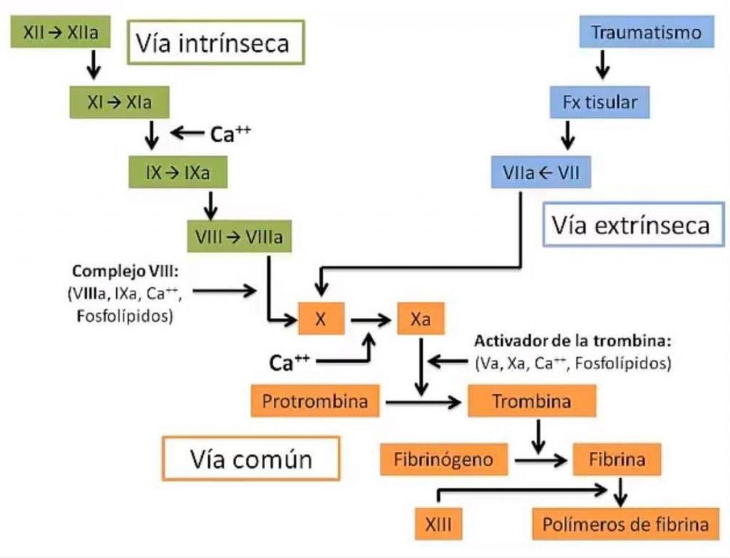 5-sistema-coagulacion-sangre-via-intrinseca-extrinseca-comun